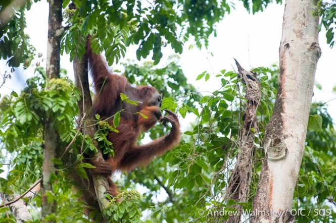 AWalmsley-orangutan rescue blog-001