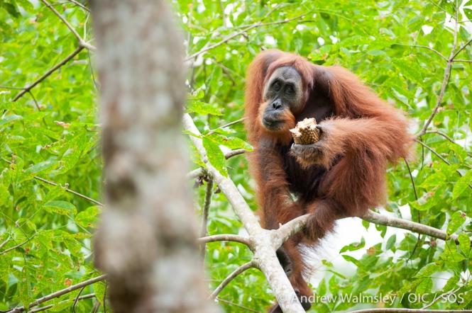 AWalmsley-orangutan rescue blog-002