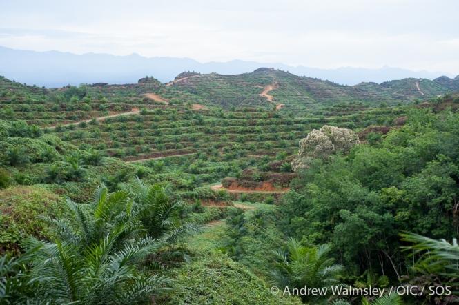 AWalmsley-orangutan rescue blog-004