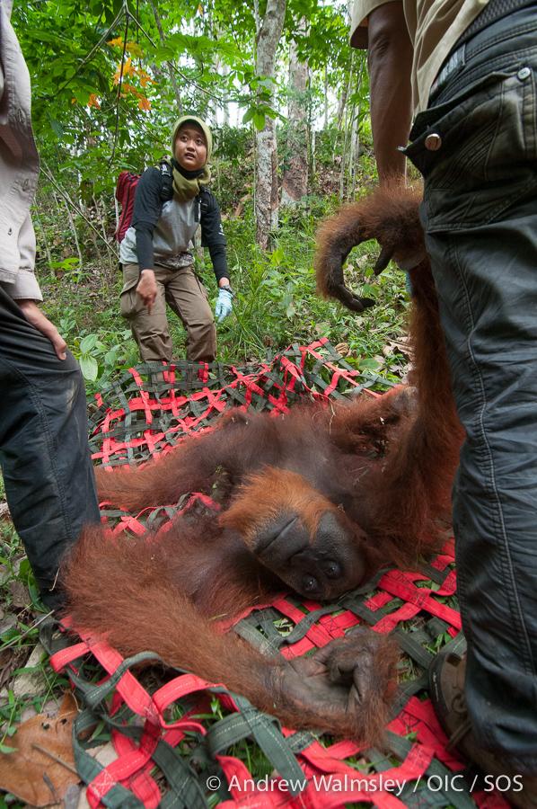 AWalmsley-orangutan rescue blog-015