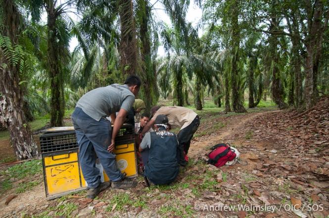 AWalmsley-orangutan rescue blog-020
