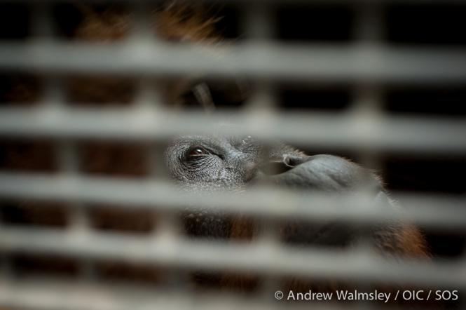 AWalmsley-orangutan rescue blog-022