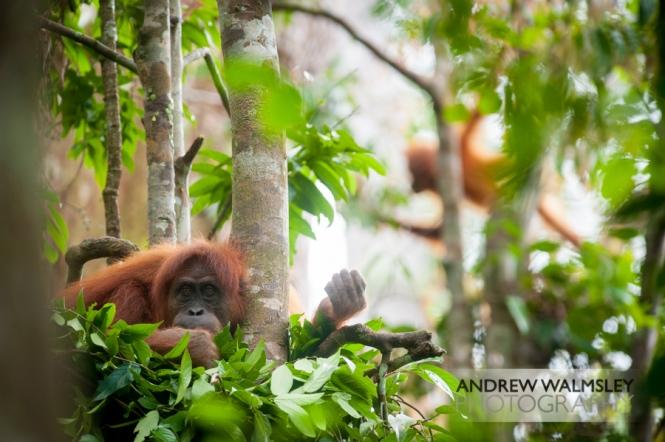 16/04/14 Sumatran orangutans, Bukit Lawang, Indonesia